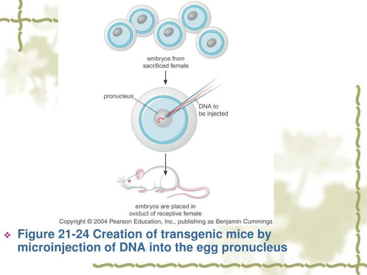 Figure 21-24 Creation of transgenic mice by microinjection of DNA into the egg pronucleus