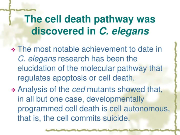 The cell death pathway was discovered in