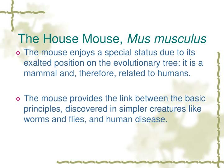 The House Mouse,