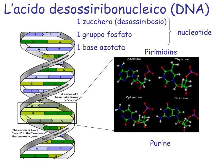L'acido desossiribonucleico (DNA)