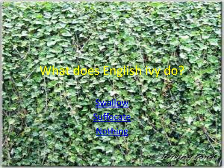 What does English ivy do?