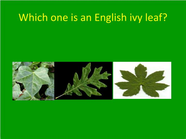 Which one is an English ivy leaf?