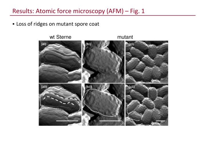 Results: Atomic force microscopy (AFM) – Fig. 1