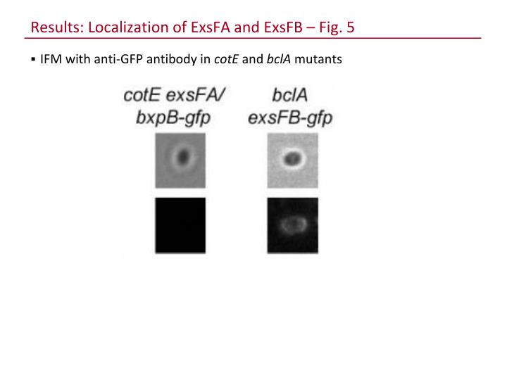 Results: Localization of ExsFA and ExsFB – Fig. 5