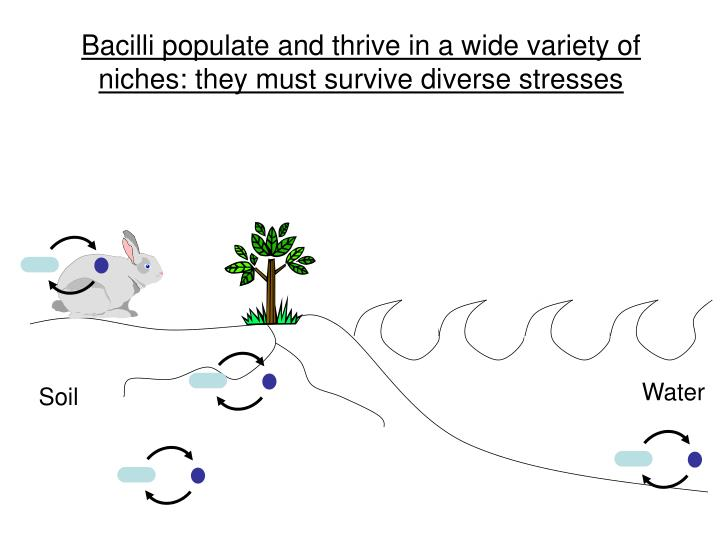 Bacilli populate and thrive in a wide variety of niches: they must survive diverse stresses