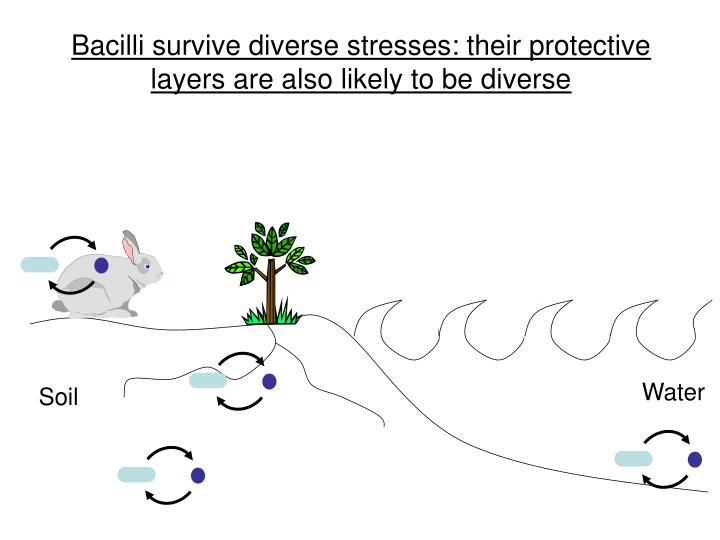 Bacilli survive diverse stresses: their protective layers are also likely to be diverse