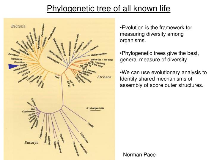 Phylogenetic tree of all known life