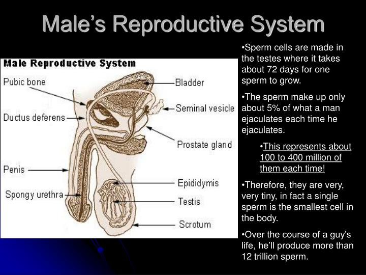 Male's Reproductive System