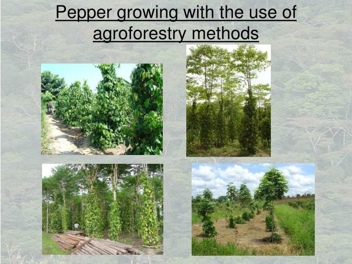 Pepper growing with the use of agroforestry methods