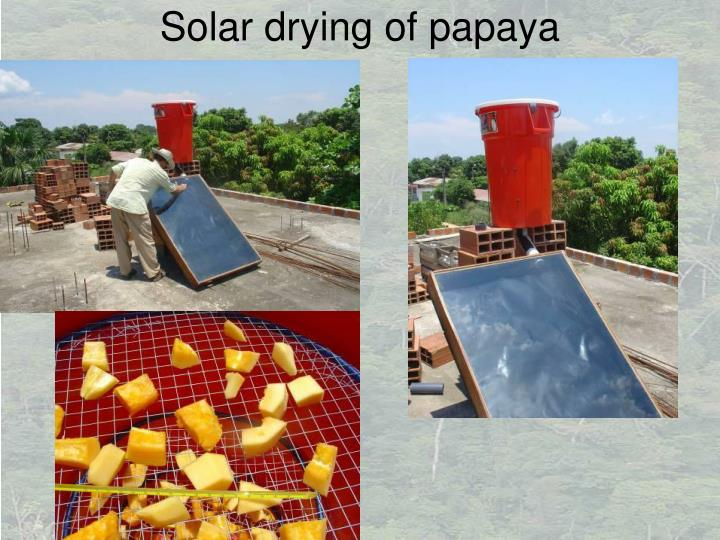 Solar drying of papaya