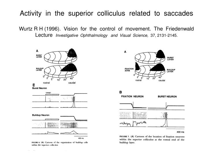 Activity  in  the  superior  colliculus  related  to  saccades