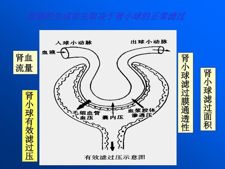 尿液的生成首先取决于肾小球的正常滤过