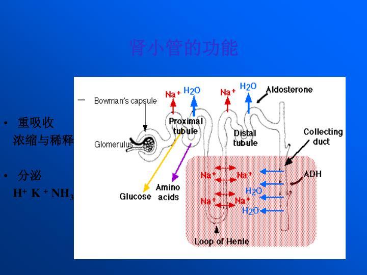 肾小管的功能