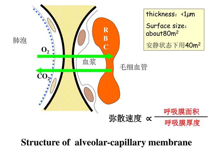 呼吸膜面积