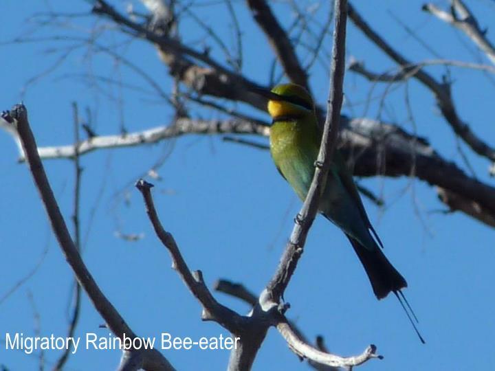 Migratory Rainbow Bee-eater
