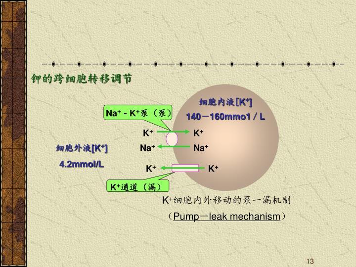 钾的跨细胞转移调节