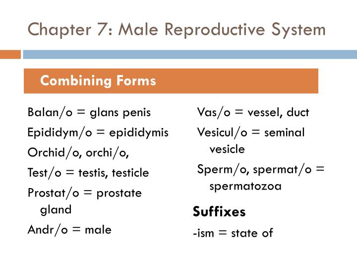 Chapter 7: Male Reproductive System