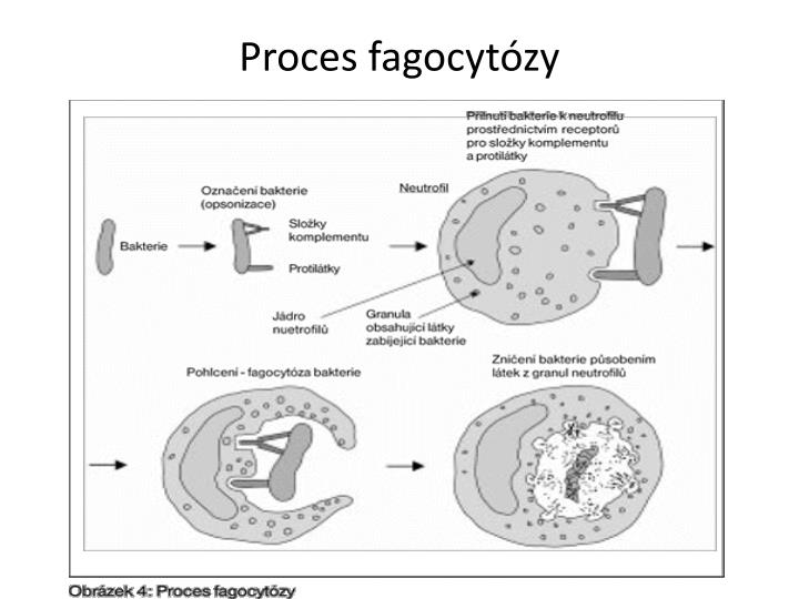 Proces fagocytózy