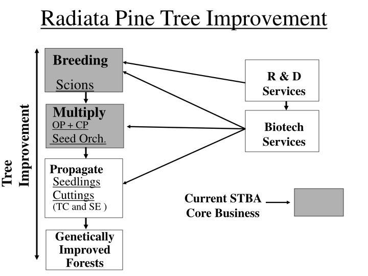 Radiata Pine Tree Improvement