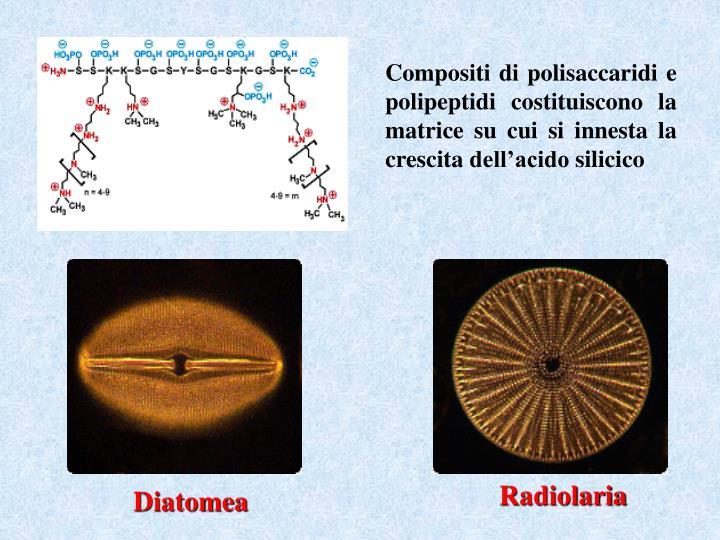 Compositi di polisaccaridi e polipeptidi costituiscono la matrice su cui si innesta la crescita dell'acido silicico
