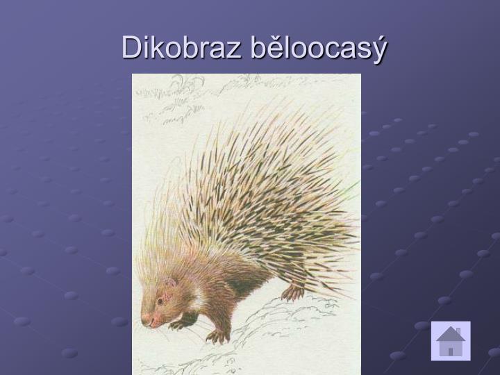 Dikobraz běloocasý