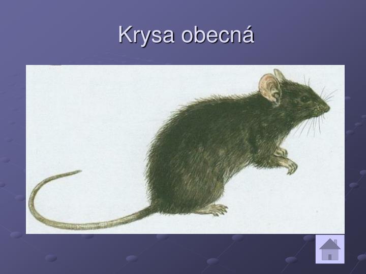 Krysa obecná