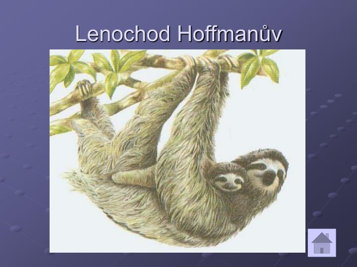 Lenochod Hoffmanův