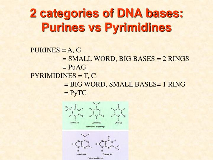 2 categories of DNA bases: