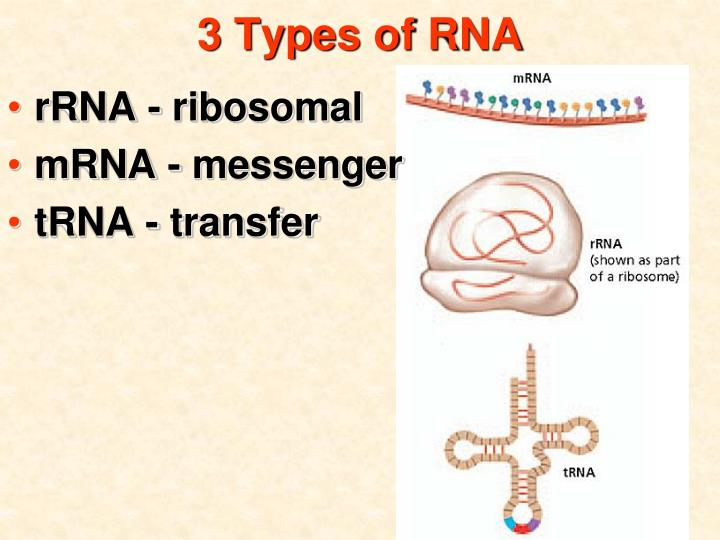 3 Types of RNA