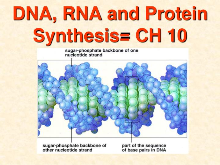 Dna rna and protein synthesis ch 10