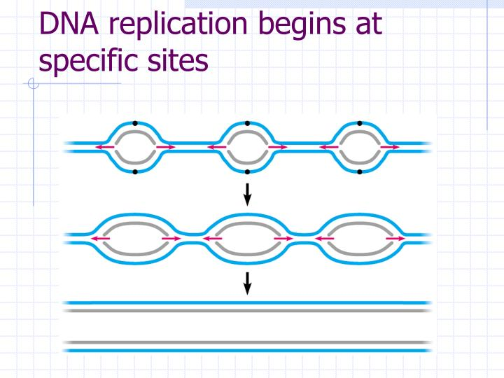 DNA replication begins at specific sites