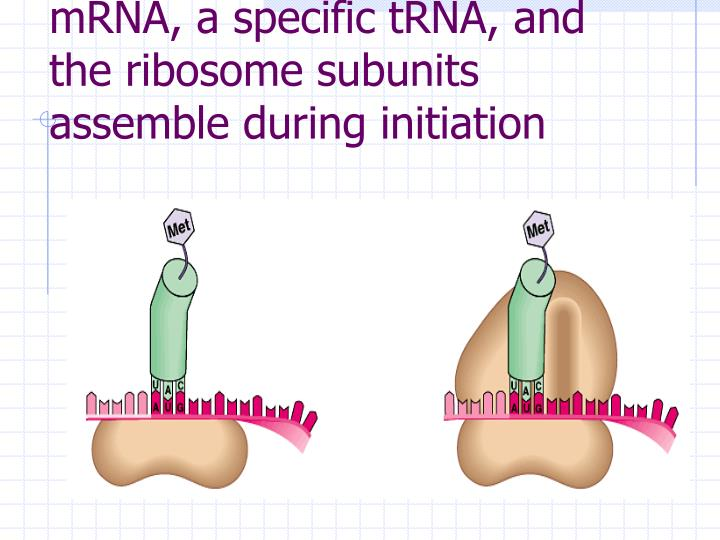 mRNA, a specific tRNA, and the ribosome subunits assemble during initiation