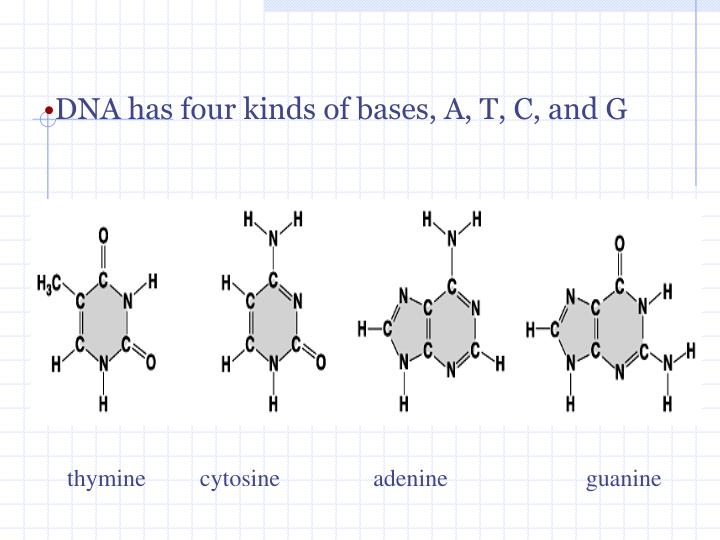 DNA has four kinds of bases, A, T, C, and G