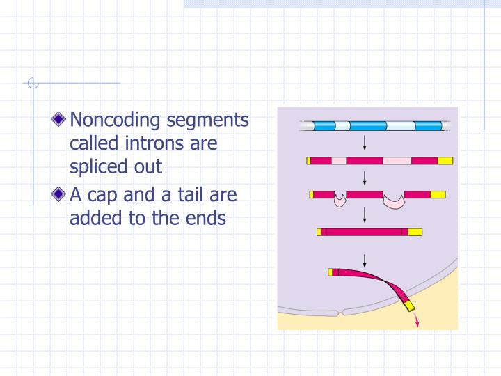 Noncoding segments called introns are spliced out