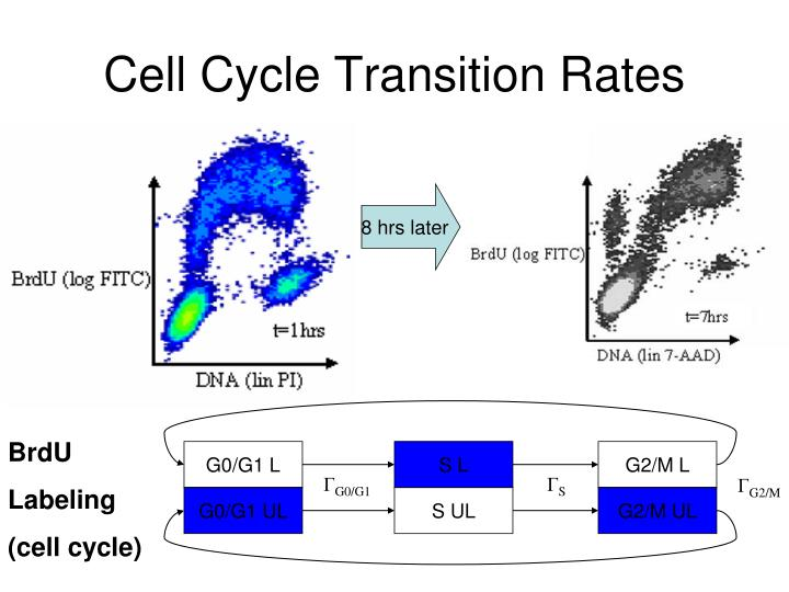 Cell Cycle Transition Rates