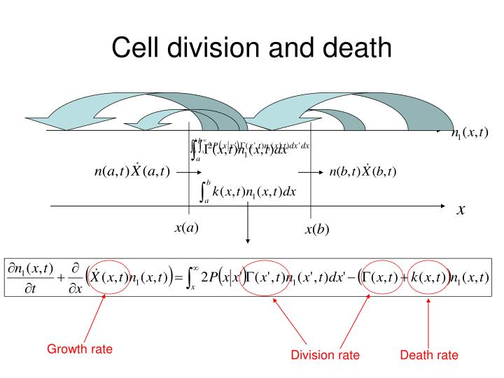 Cell division and death