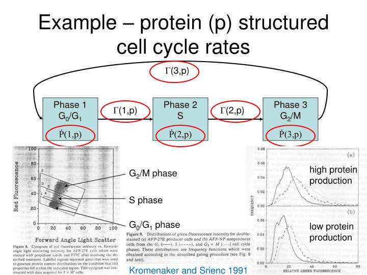Example – protein (p) structured cell cycle rates