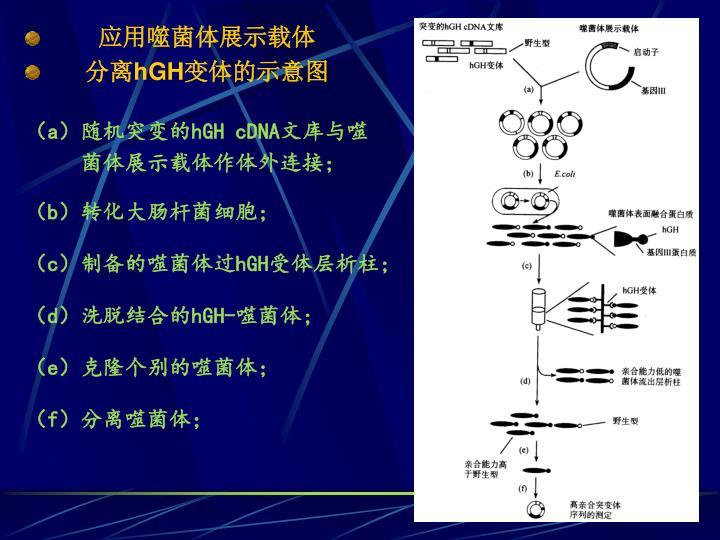 应用噬菌体展示载体