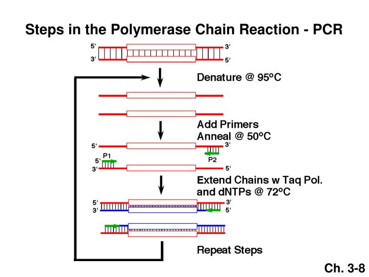 Steps in the Polymerase Chain Reaction - PCR
