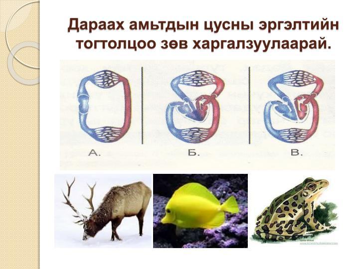 Дараах амьтдын цусны эргэлтийн тогтолцоо зөв харгалзуулаарай.