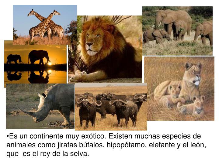 Es un continente muy exótico. Existen muchas especies de animales como jirafas búfalos, hipopótamo, elefante y el león, que  es el rey de la selva.