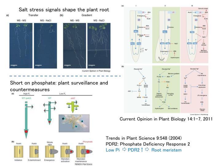 Salt stress signals shape the plant root