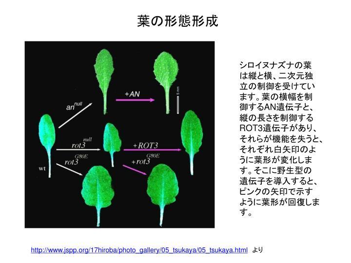 シロイヌナズナの葉は縦と横、二次元独立の制御を受けています。葉の横幅を制御する
