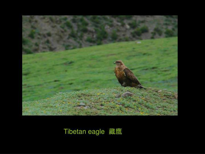 Tibetan eagle  藏鷹
