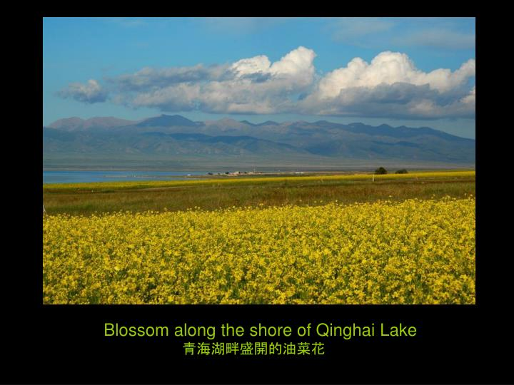 Blossom along the shore of Qinghai Lake