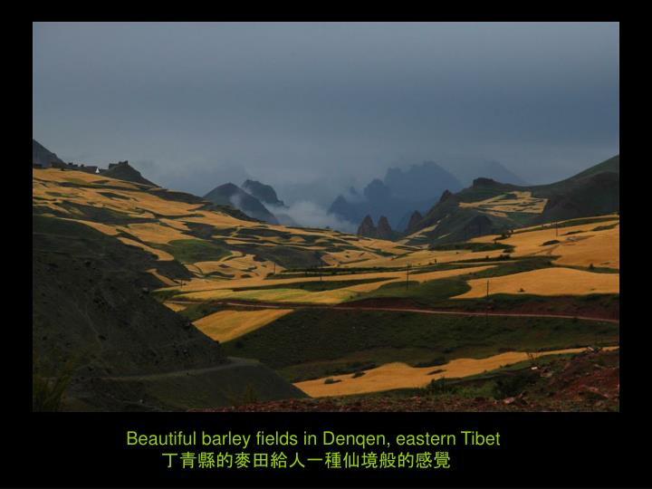 Beautiful barley fields in Denqen, eastern Tibet