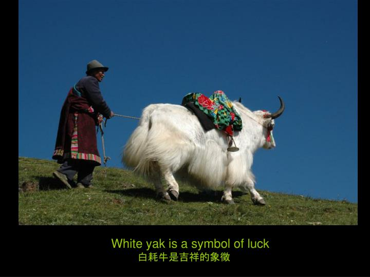White yak is a symbol of luck