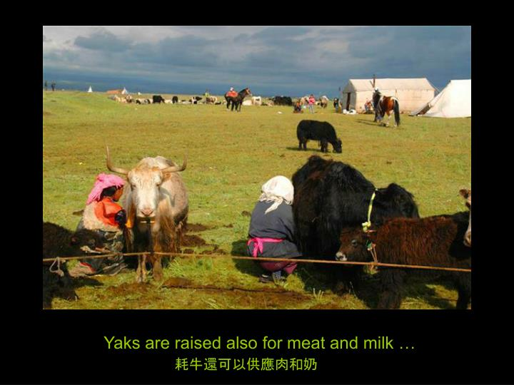 Yaks are raised also for meat and milk …