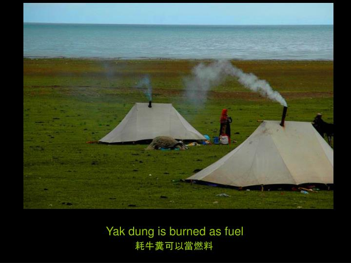Yak dung is burned as fuel