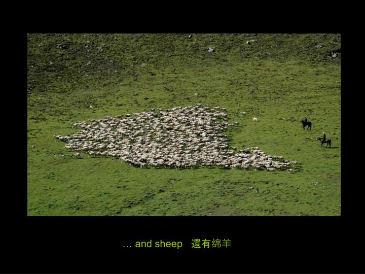 … and sheep   還有绵羊